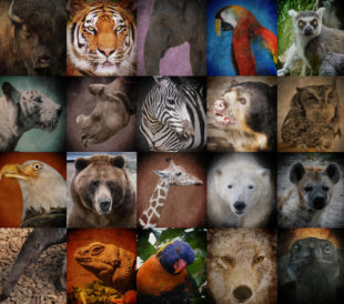 A group of different wild animal faces in a square background. The creatures range from a tiger, elephant, giraffe, buffalo to birds, lizards and polar bears. Use it for a conservation or zoo concept. Image: Angela Waye/Shutterstock.com.