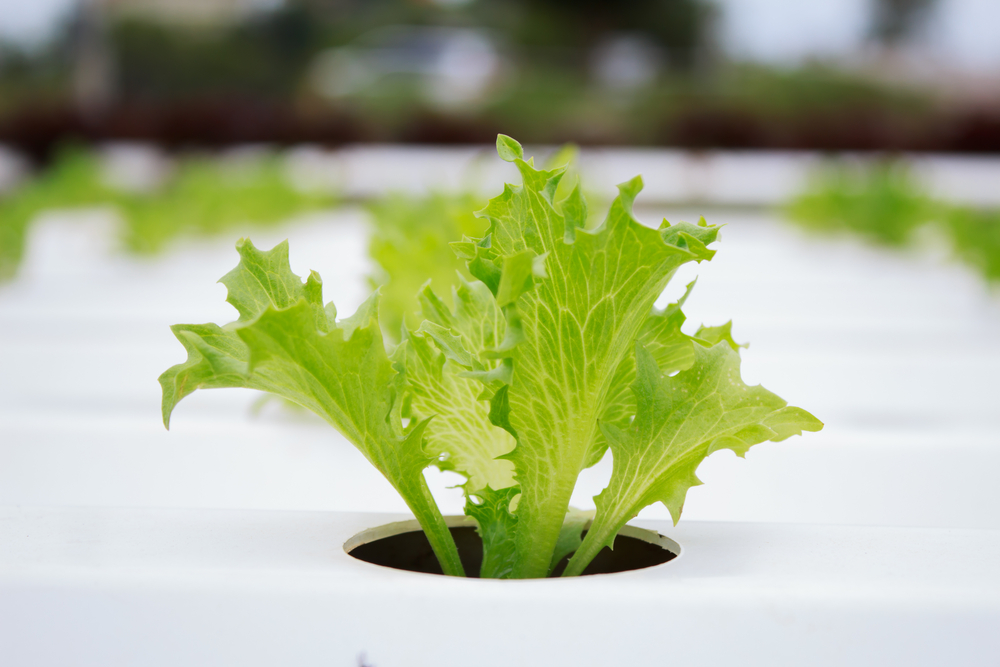 Single lettuce plant grown using hydroponics