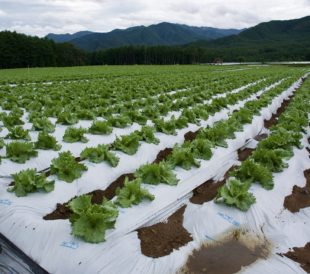 A field of green lettuce growing through white plastic sheeting, with trees in the background.
