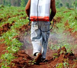 Farmer spraying pesticide in a cassaca field