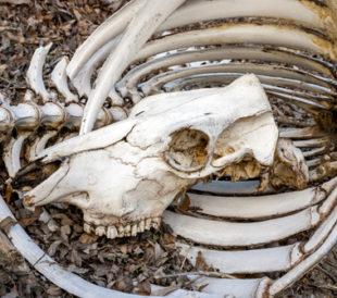 cow bones
