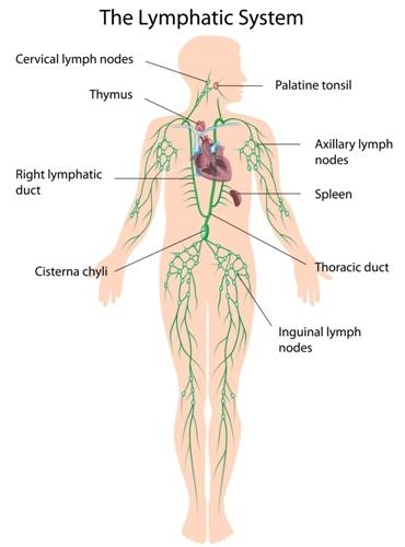 condiloame la termenul femeilor medicina este un parazit al corpului uman