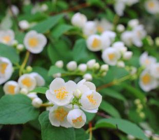 mock orange - murraya paniculata