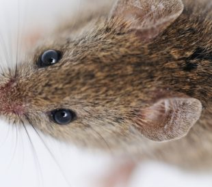 Mouse on white background. Image: Zurijeta/Shutterstock.com