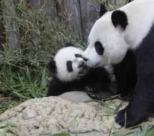 Giant panda with cub. Image: plavevski/Shutterstock.com