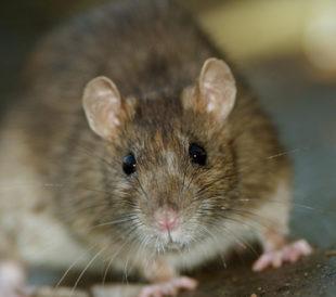 Rattus norvegicus. Image: Gallinago_media/Shutterstock.com