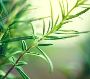 Rosemary plant. Image: Subbotina Anna/Shutterstock.com