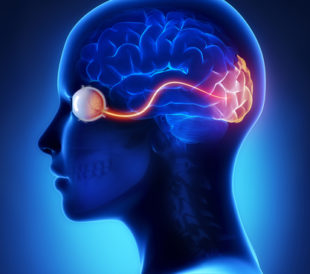 Eye and visual cortex nerves. Image: CLIPAREA l Custom media/Shutterstock.com.